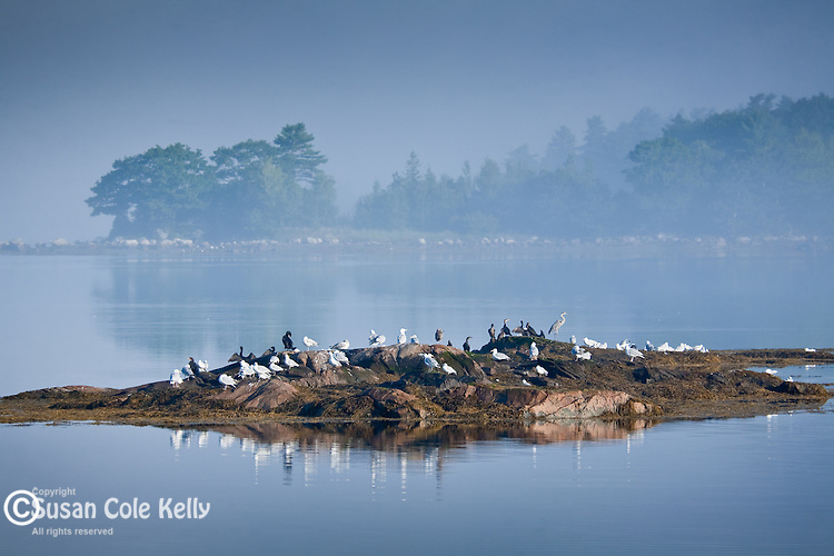 Shorebirds on a tidal island in Downeast ME
