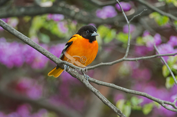 Northern Oriole (Icterus galbula) male in breeding plumage rests in spring Redbud tree. Lake Erie.