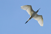 Standing three feet tall with a wing span of over five feet, Great Egrets are a dazzling sight both on the ground and in the air.