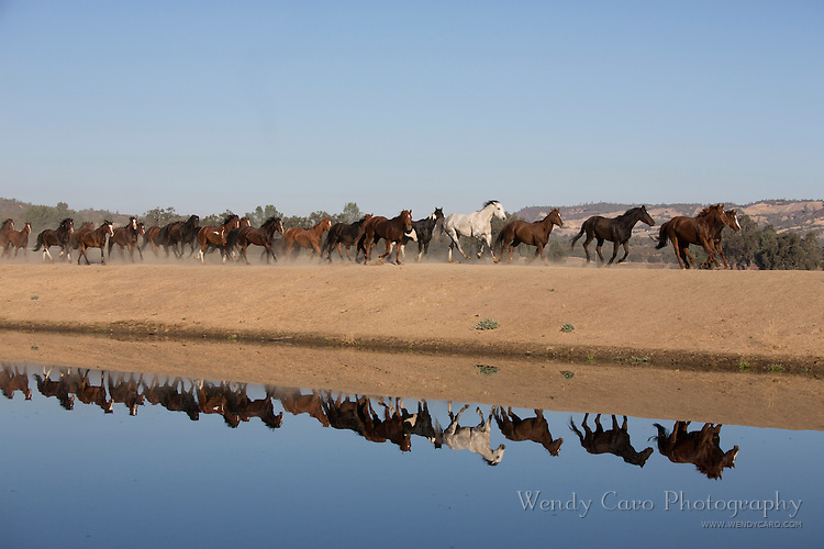Herd of horses galloping in a straight line, along a lake, with reflection