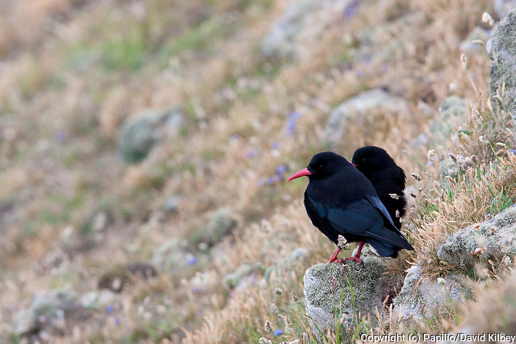 Chough, Pyrrhocorax pyrrhocorax, Pair of adults on cliff face by coast, Pembrokeshire, Wales, UK