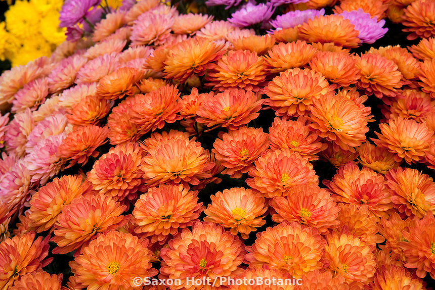 Mass of Chrysanthemum flowers, Garden Mums 'Jacqueline Orange Fusion'; bred by Sygenta