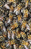 320040032 wild honey bee apis mellifera swarm in south txas