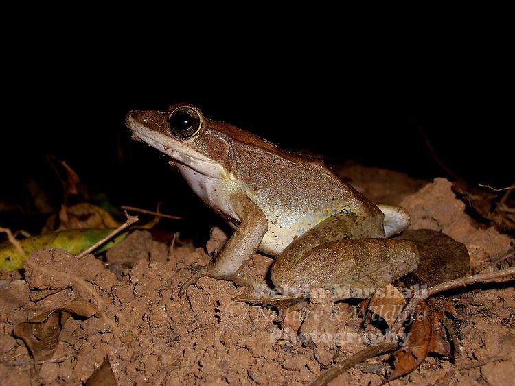 Rana daemeli (Ranidae): the only member of the Ranidae in Australia. Iron Range National Park - Cape York Peninsular.