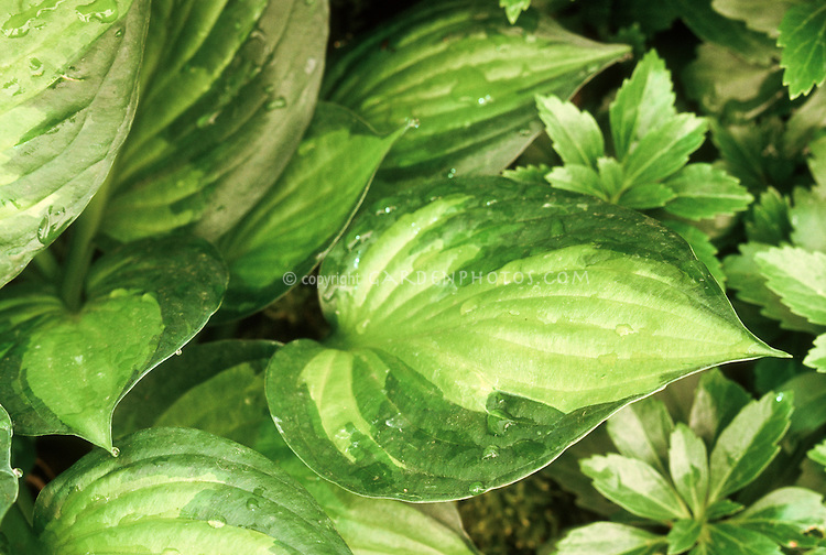 Hosta Whirlwind Tour with light green center, variegated foliage plant perennial for shade gardens, good groundcover