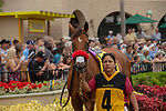 DEL MAR, CA  SEPTEMBER 3: #4 Lady Prancealot, in the paddock of the Del Mar Juvenile Fillies Turf on September 3, 2018, at Del Mar Thoroughbred Club in Del Mar, CA. (Photo by Casey Phillips/Eclipse Sportswire/Getty Images)