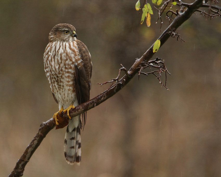 Copper's Hawk juvenile just before dusk, late fall in near freezing rain..