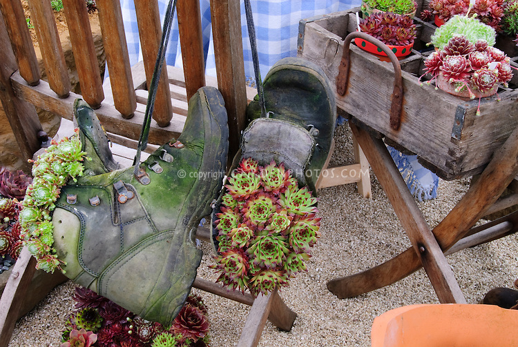 Sempervivum succulent plants in old shoes and rustic wooden crates planter pot containers for a funny quirkly recycling in the garden humorous scene