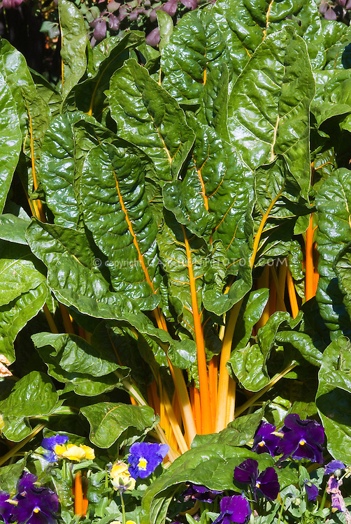 Colorful Swiss Chard, Beta 'Golden Sunrise' (=± 'Bright Lights Bright Yellow' AGM) rainbow chard with pansies Viola