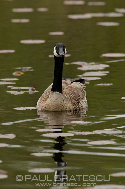 Canadian Goose (Branta canadensis) with reflection