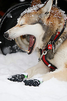 One of Kristen Crain's dogs waiting in the pits before the start of the 2009 Junior Iditarod on Knik Lake on Saturday Februrary 28, 2009.
