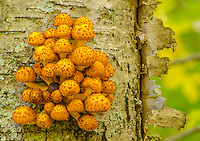 Golden Philiota Fungi grow on a Birch tree on the grounds of the Clearing, a school in the arts and humanities in Ellison Bay, Door County, Wisconsin