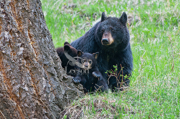 "Wild Black Bear (Ursus americanus) mother with cubs.  Western U.S., spring. (These are what are known as ""coys""--cubs of the year.)"