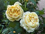 Charles Darwin Rose, Rosa hybrid