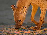 Portrait of spotted hyena sniffing the ground