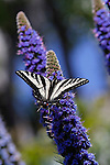 ECHIUM FASTUOSUM, PRIDE OF MADIERA, AND WESTERN TIGER SWALLOWTAIL BUTTERFLY, PAPILIO RUTULUS