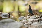 Steller's Jay (Cyanocitta stelleri) at creek, Yosemite Valley, Sierra Nevada, Yosemite National Park, California