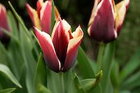 Tulip 'Gavota'