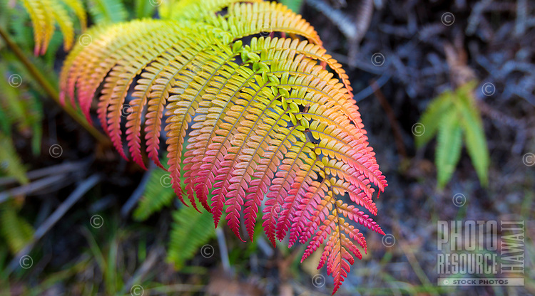 Close-up of the endemic 'ama'u fern, Hawai'i Volcanoes National Park, Big Island.