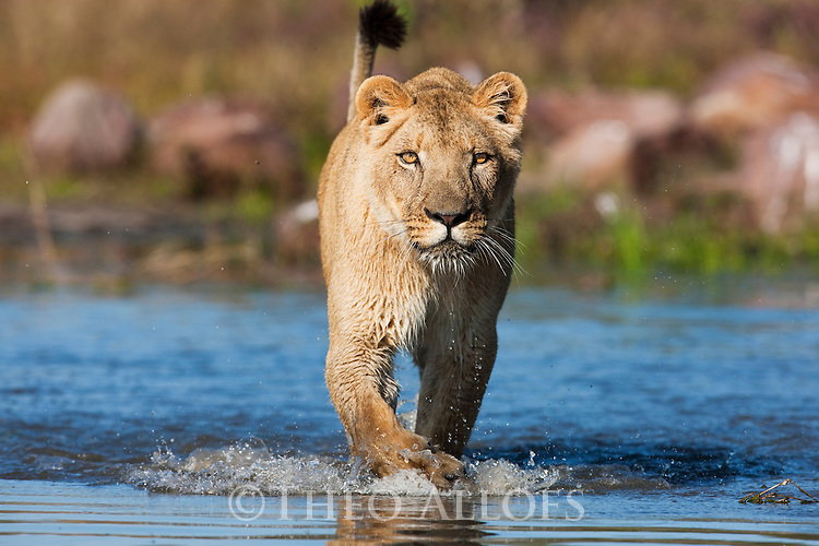 Botswana, Kalahari, lioness, captive, walking in water hole