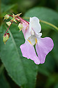 Impatiens balfourii, mid October. Common names include Balfour's touch-me-not, Kashmir balsam, and Poor Man's Orchid. Native to the western Himalayas. Plants grow approx. 1m tall and 60cm wide. Lavender, pink & white orchid-shaped flowers are produced profusely above lush green foliage from June to October. Self seeds prolifically.