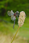 White-faced Darter Dragonfly (Leucorrhinia dubia), the only species of the genus living in Great Britain.