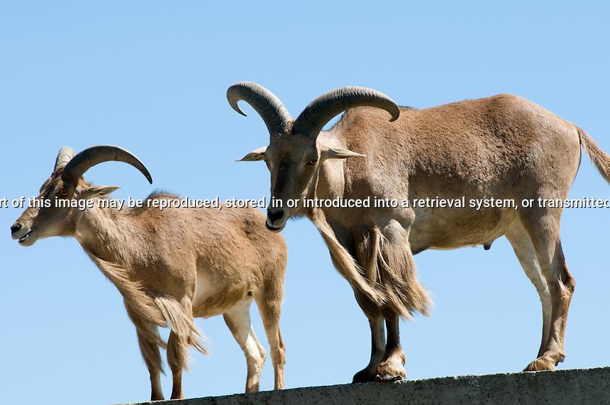Two Barbary Sheep