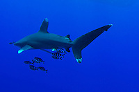Shots of the oceanic whitetip shark. The oceanic whitetip is found globally in deep, open water, with a temperature greater than 18 °C in Egypt in the Red Sea