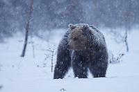 Eurasian Brown Bear during heavy snowfall.
