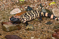 Gila Monster (Heloderma suspectum) in Creek Bed