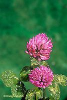 PZ02-001a  Red Clover - Trifolium pratense