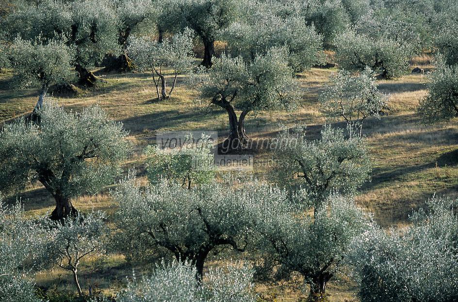 Europe/Italie/Ombrie/Env de Pérouse : Oliveraie sur les rives du lac Trasimene
