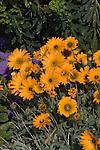 'Sunspot' African Daisy, Arctotis hybrid