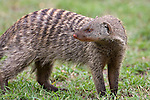 ..Banded Mongoose.