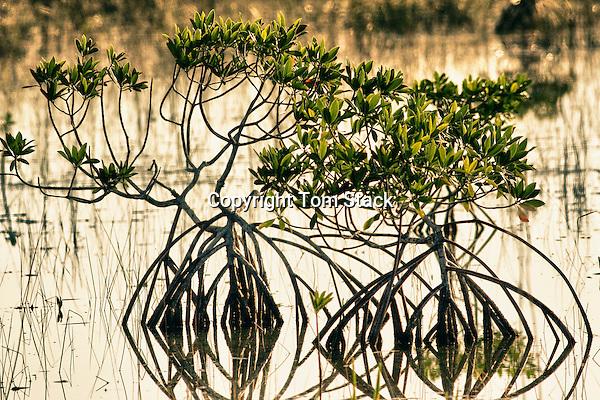 Red Mangrove (Rhizophora mangle) Everglades National Park, Florida