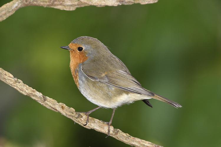 Robin - Erithacus rubecula