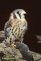 HK01-002z  Sparrow Hawk - Young with shrew prey - Falco sparverius