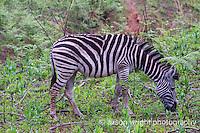 Africa, Swaziland, Malkerns. Milwane Nature Reserve game drive,zebra.