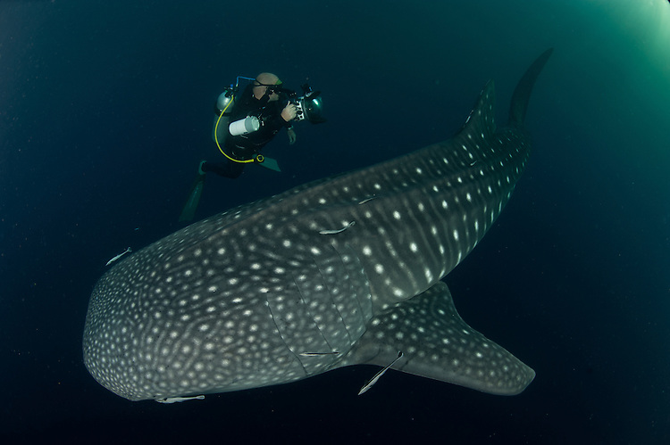 Whale shark (Rhincodon typus) gather under fishing platforms to feed from fishermens nets, Papua, Indonesia