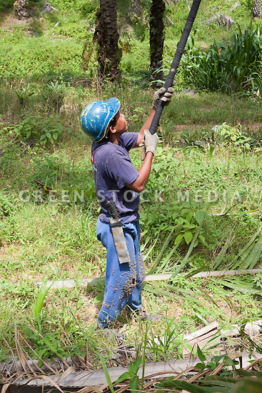 A worker harvesting with a long harvesting scythe to cut palm fruit from high in the trees. The Sindora Palm Oil Plantation, owned by Kulim, is green certified by the Roundtable on Sustainable Palm Oil (RSPO) for its environmental, economic, and socially sustainable practices. Johor Bahru, Malaysia
