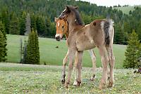 Wild Horse or feral horse (Equus ferus caballus) colts.  Western U.S., summer.