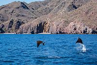 Adult Munk's pygmy devil rays, Mobula munkiana, leaping near Isla Danzante, Baja California Sur, Mexico.
