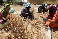 EGYPT, Bilbeis, Sekem organic farm, desert farming, women harvest and dry herbs / AEGYPTEN, Bilbeis, Sekem Biofarm, Landwirtschaft in der Wueste, Frauen entfernen Samen der getrockneten Pflanze Tagetes