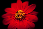 Close-up of bright red cosmos in full bloom.