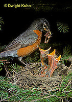 RO03-013z  American Robin - adult feeding young birds at nest - Turdus migratorius