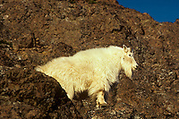 Mountain Goat (Oreamnos americanus) standing on rocky cliff.  Pacific Northwest.
