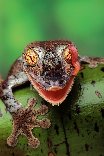 Henkel's Leaf-tailed Gecko uses tongue to clean eye much like a wiper blade..Native to Madagascar..(Uroplatus henkeli).