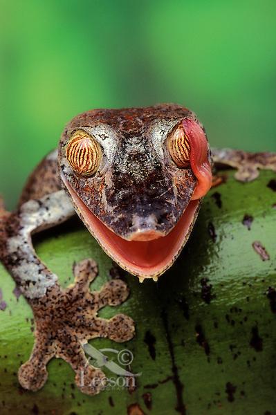 Henkel's Leaf-tailed Gecko uses tongue to clean eye much like a wiper blade..Native to Madagascar..(Uroplatus henkeli).
