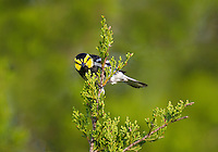 591850054 a wild male golden-cheeked warbler setophaga chrysoparia - was dendroica chrysoparia - an endangered species perches in a pine tree on mike murphy's los ebanos ranch in travis county texas united states
