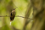 Long-billed Hermit (Phaethornis longirostris) hummingbird, Panama Rainforest Discovery Center, Gamboa, Panama